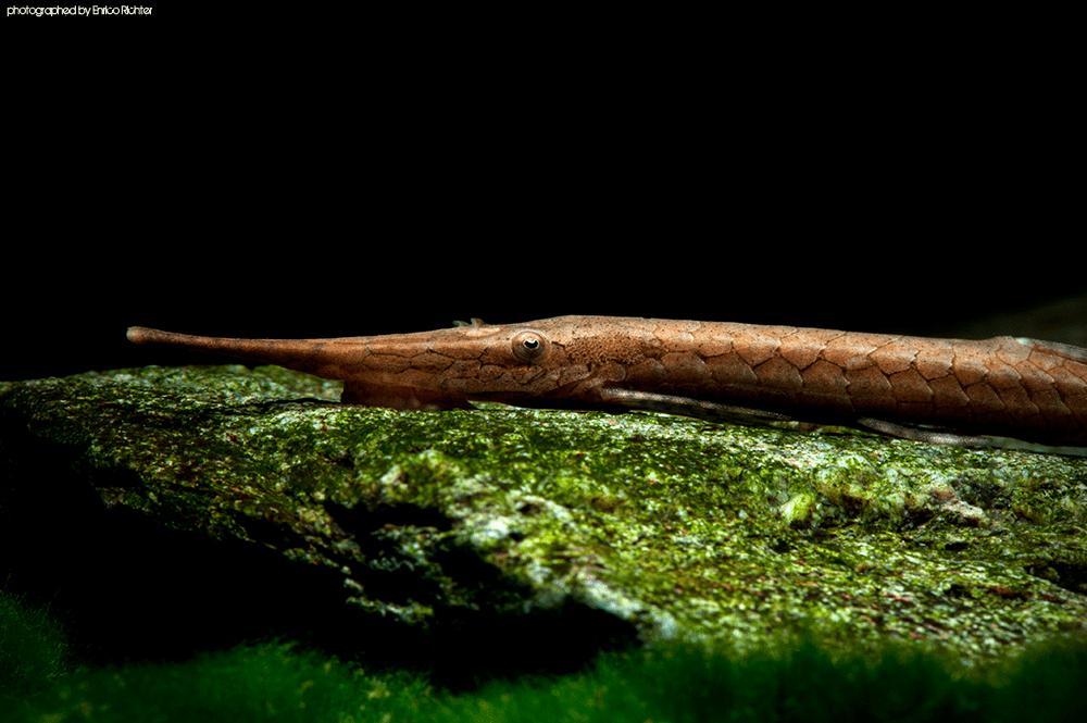 Farlowella cf. hahni WF Paraguay 8-13cm