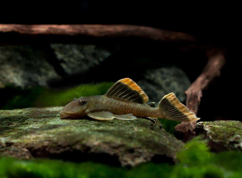 L047 Baryancistrus chrysolomus WF Brasilien 6-7cm