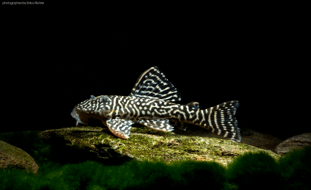 L474 Hypancistrus sp. Rio Sinaruco WF Venezuela 6-8cm