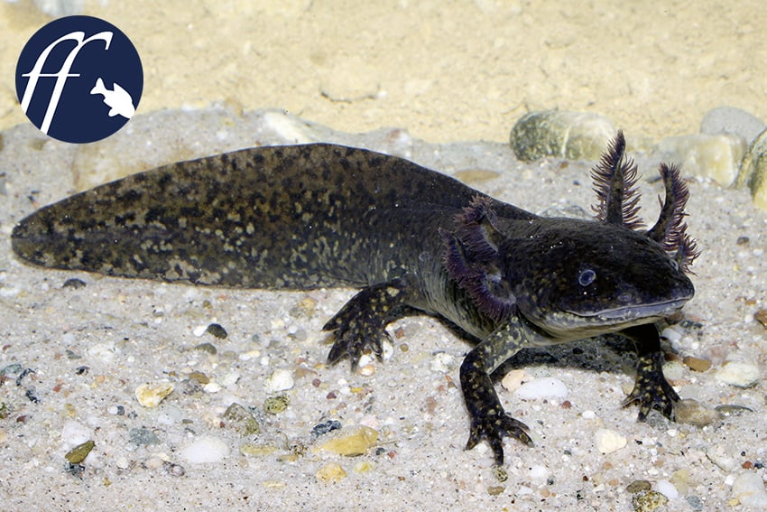 Franky Friday: Der Axolotl – endgültig ausgestorben? 1