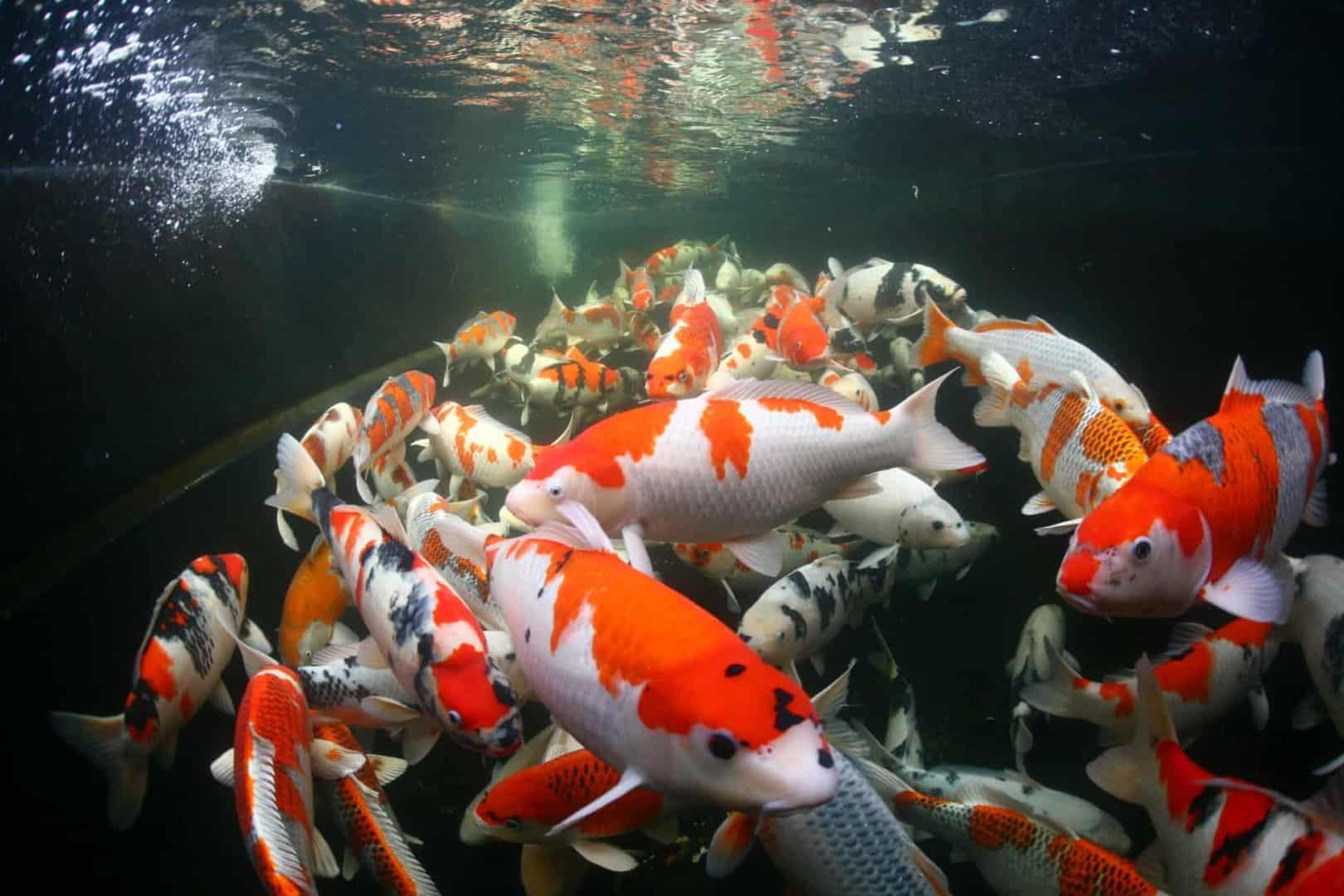 154 : Expeditionen zu den Biotopen der Aquarienfische Teil 2 (Heiko Blessin) 77