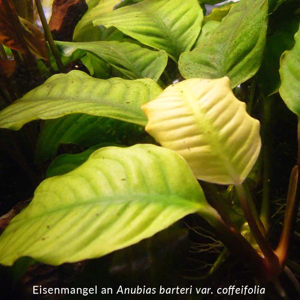 Mangelsymptome an Aquarienpflanzen erkennen 2
