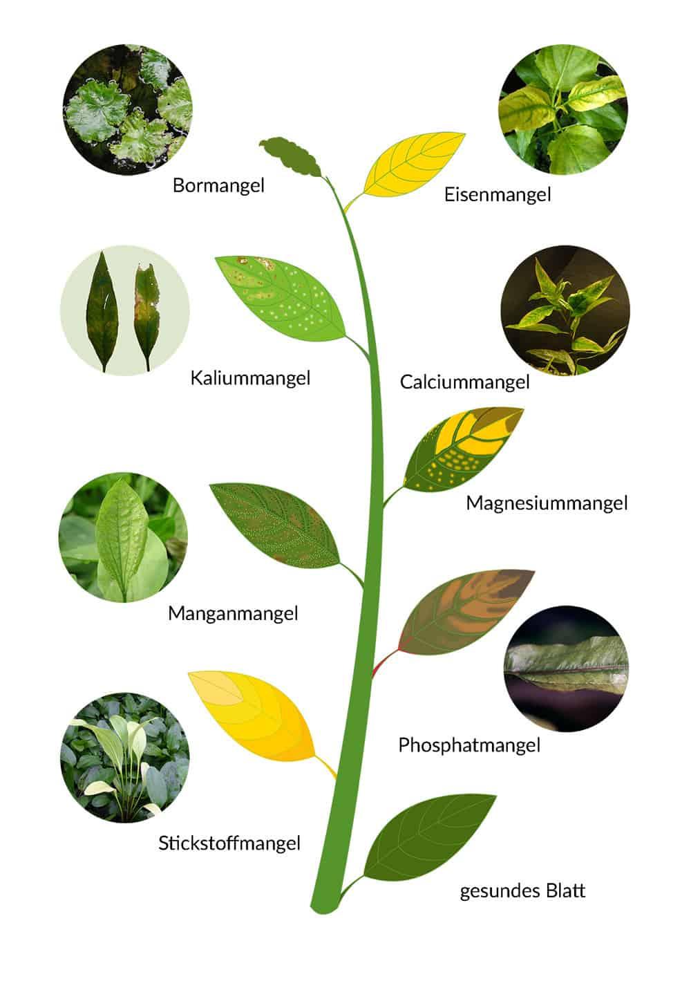 Mangelsymptome an Aquarienpflanzen erkennen 1