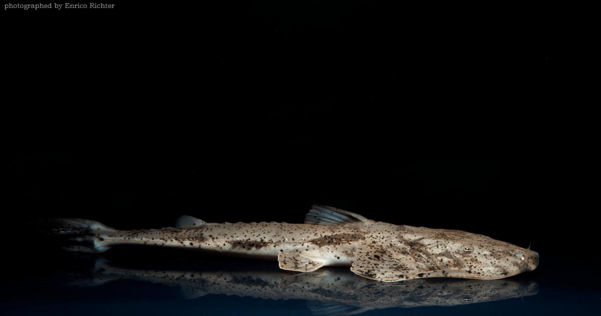 Bagarius suchus WF Burma 27-30cm