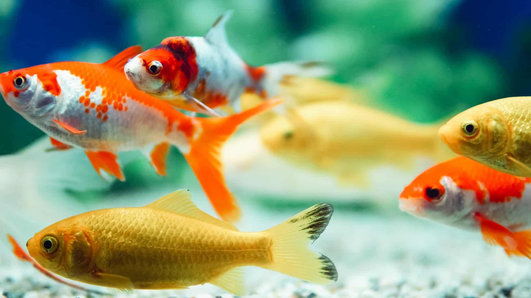 gefahren im aquarium welche rolle sauerstoff f r die fische spielt my fish. Black Bedroom Furniture Sets. Home Design Ideas