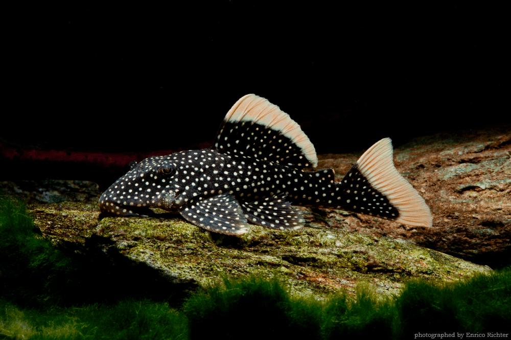 L081 Baryancistrus xanthellus WF Brasilien 6-8cm