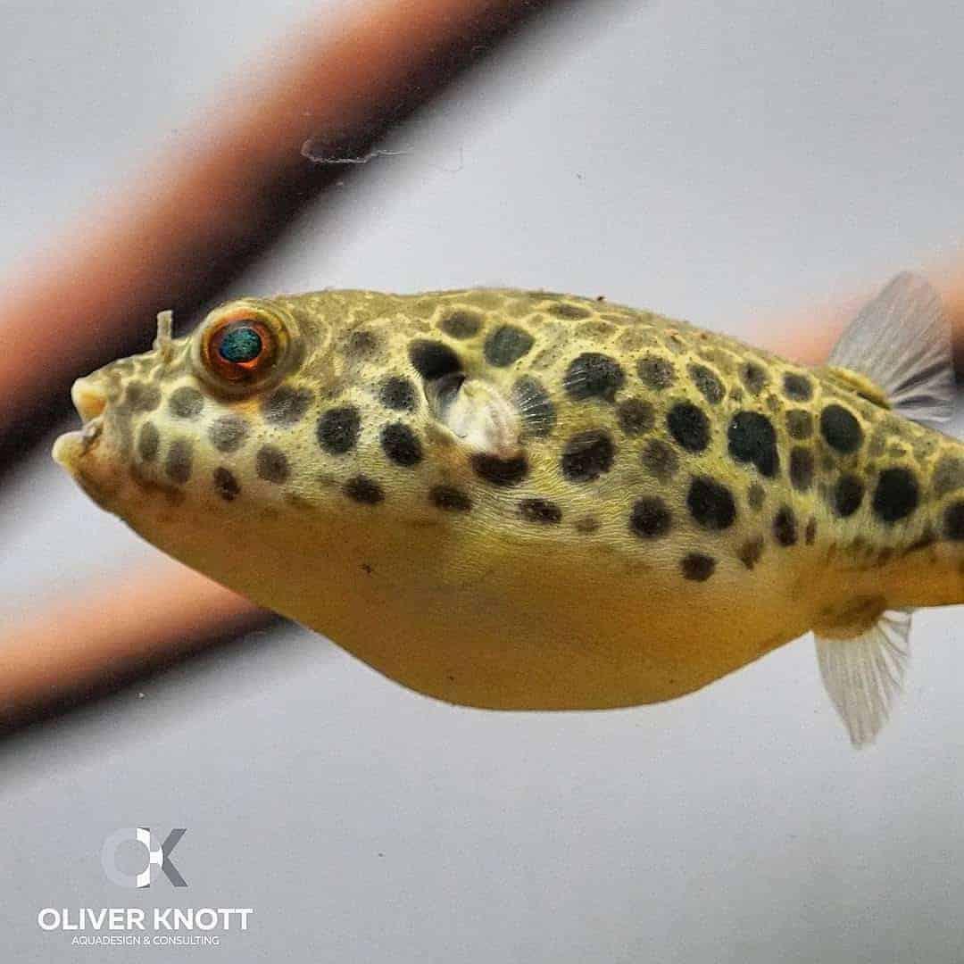 166 Leopardkugelfische - Zucht und Pflege (Oliver Knott) 2