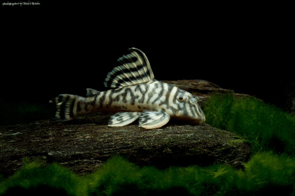 L333 Hypancistrus sp. King Tiger WF Rio Xingu 8-11cm