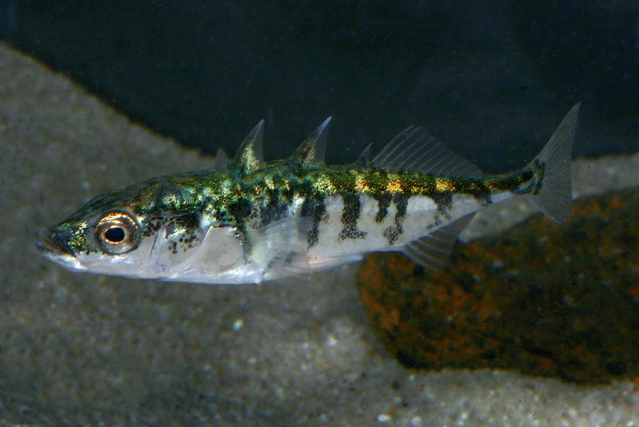 Foto: FLH. - Stichlinge sind aufgrund ihrer Balzfärbung und auch ihres Verhaltens spannende Fische, die sich gut beobachten lassen.