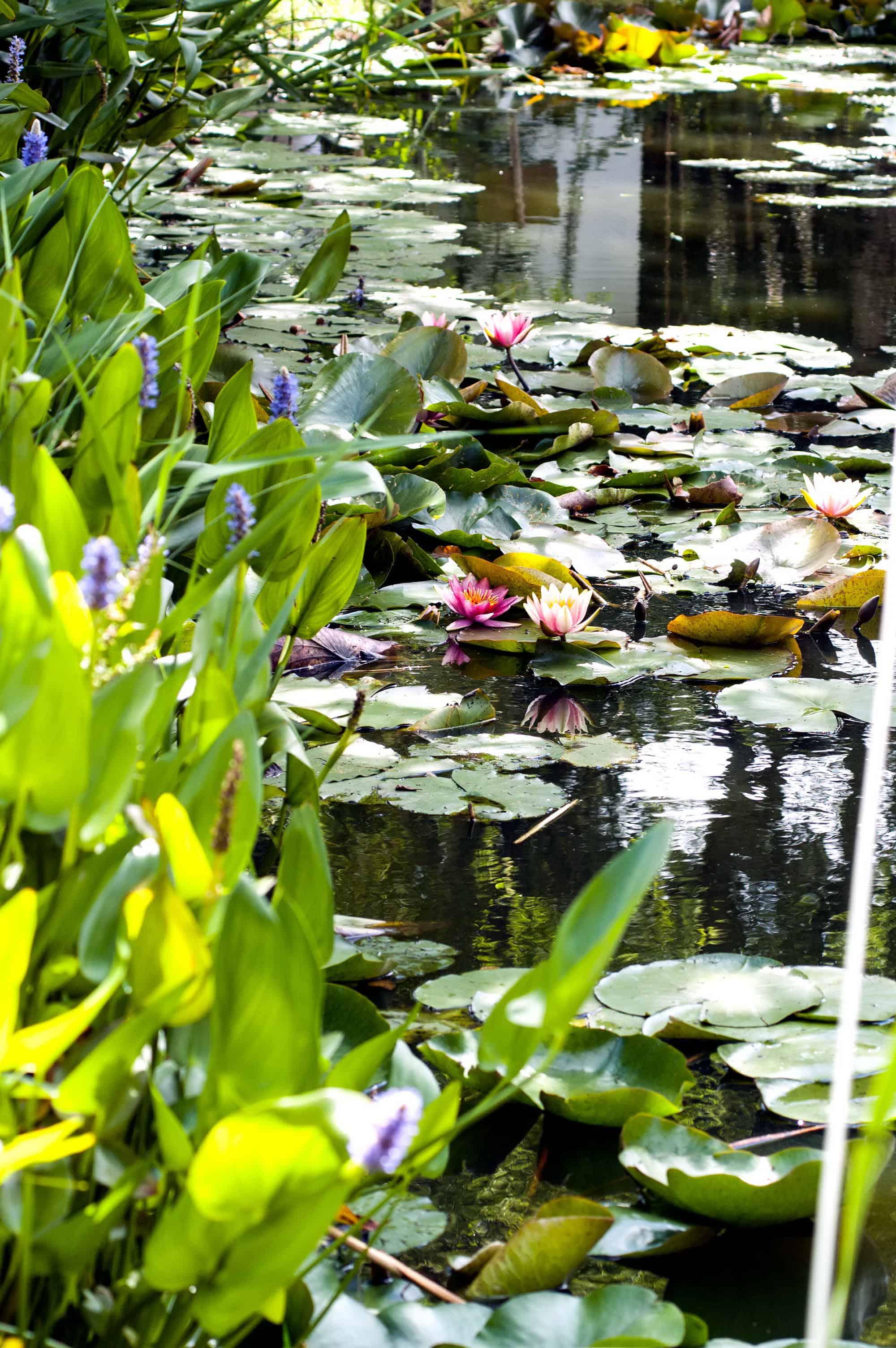 Foto: FLH. - Ein Gartenteich, in dem Biotopfische gehalten werden, hat idealerweise eine Größe von 15 bis 25 Kubikmetern.