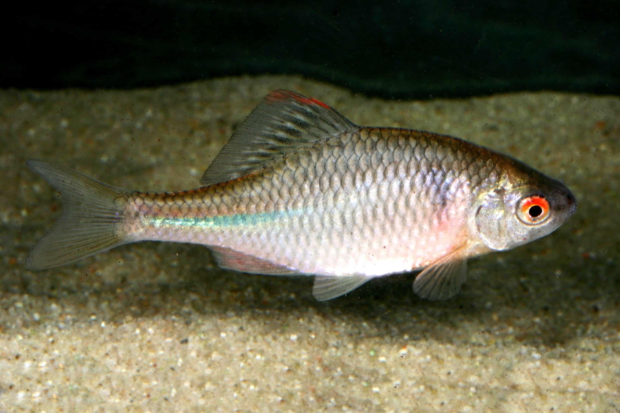 Foto: FLH. - Der Bitterling ist ein Schwarmfisch. Es sollten daher immer mindestens fünf bis sieben Tiere zusammenleben.