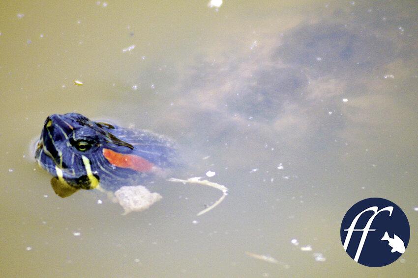 Franky Friday: Sumpf- oder Wasserschildkröten im Gartenteich? 1