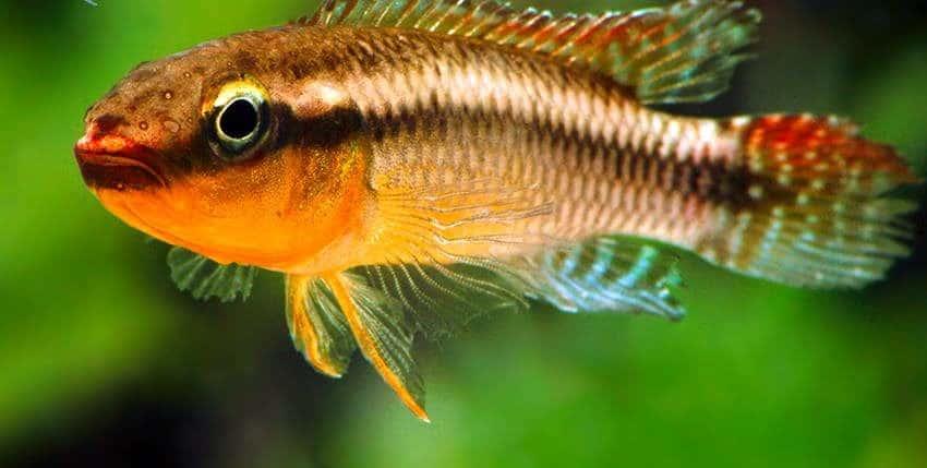 Congochromis dimidiatus