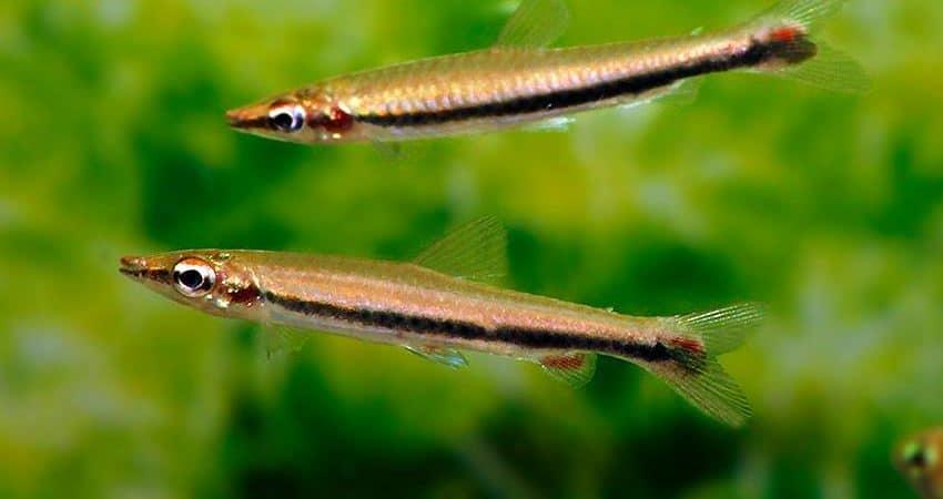 Nannostomus harrisoni 7