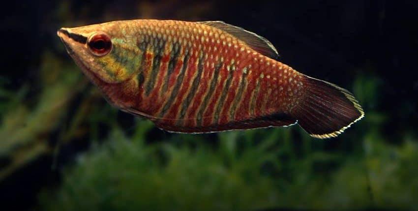 Sphaerichthys vaillanti