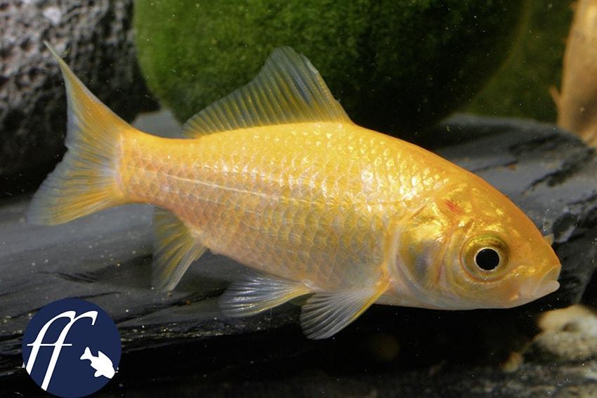 Franky Friday: Wer kennt die Wildform des Goldfisches? 1