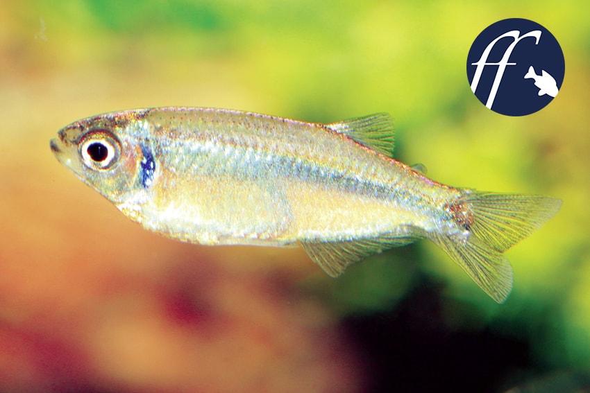 Franky Friday: Flittersalmler – Tyttocharax: Zwergfische für das Aquarium 1