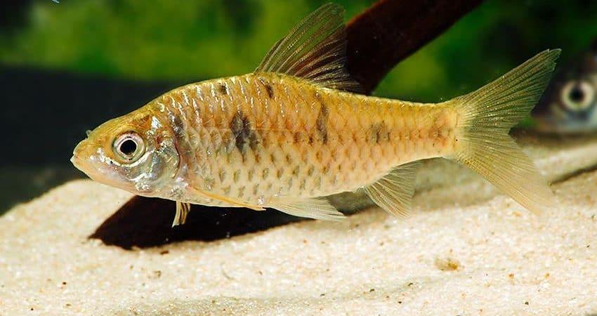 Puntius sahyadriensis