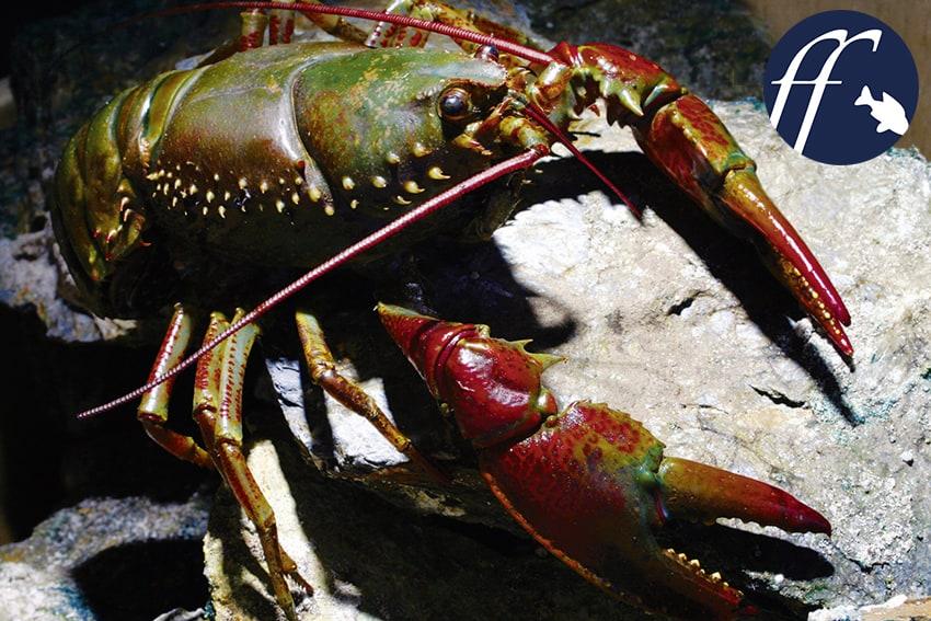 Franky Friday: Astacoides - Süßwasserkrebse aus Madagaskar 1
