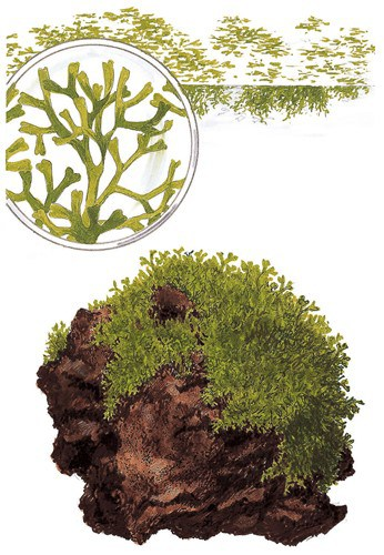 175 Riccia fluitans - Das schwimmende Teichlebermoos 2