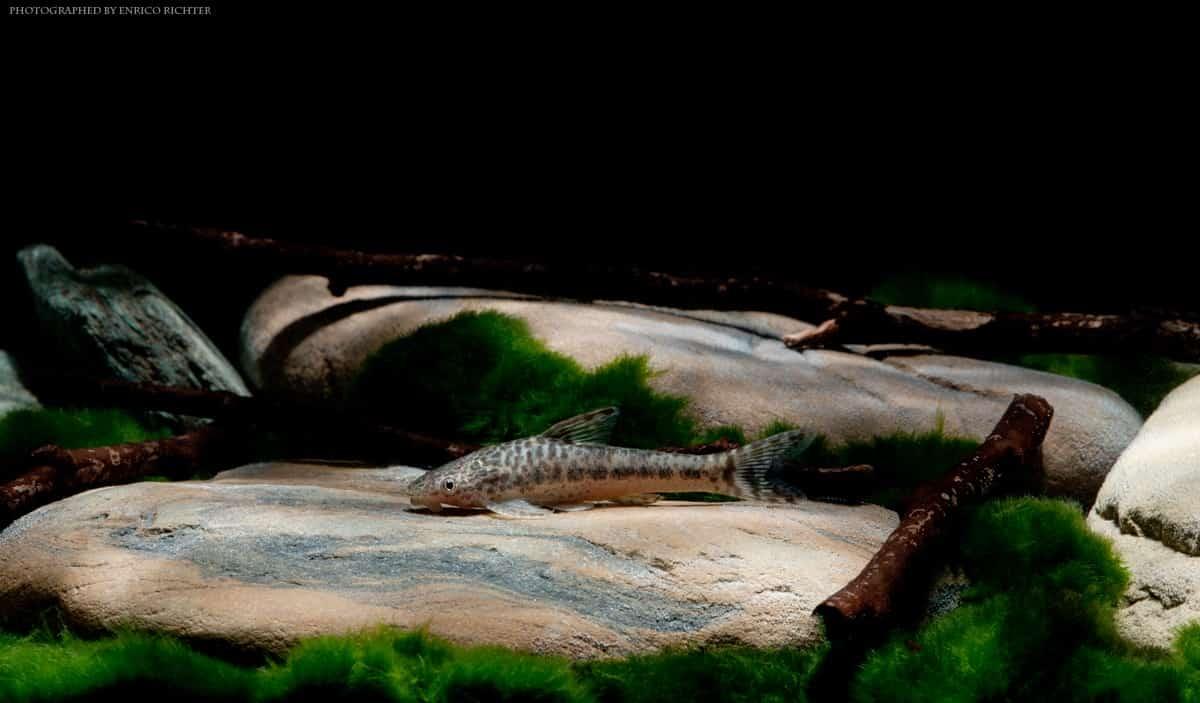 "Otocinclus mimulus ""WF paraguay"" 4-5cm"
