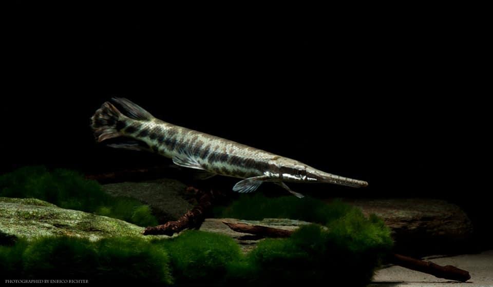 Lepisosteus oculatus 17-20cm