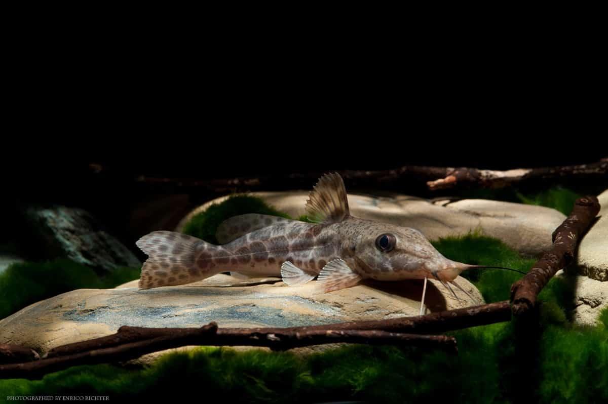 """Auchenoglanis occidentalis """"WF Lagos"""" 10-12cm"""