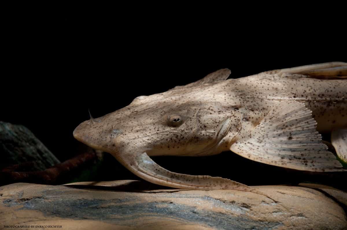 """Bagarius suchus """" WF Burma"""" 25-30cm"""