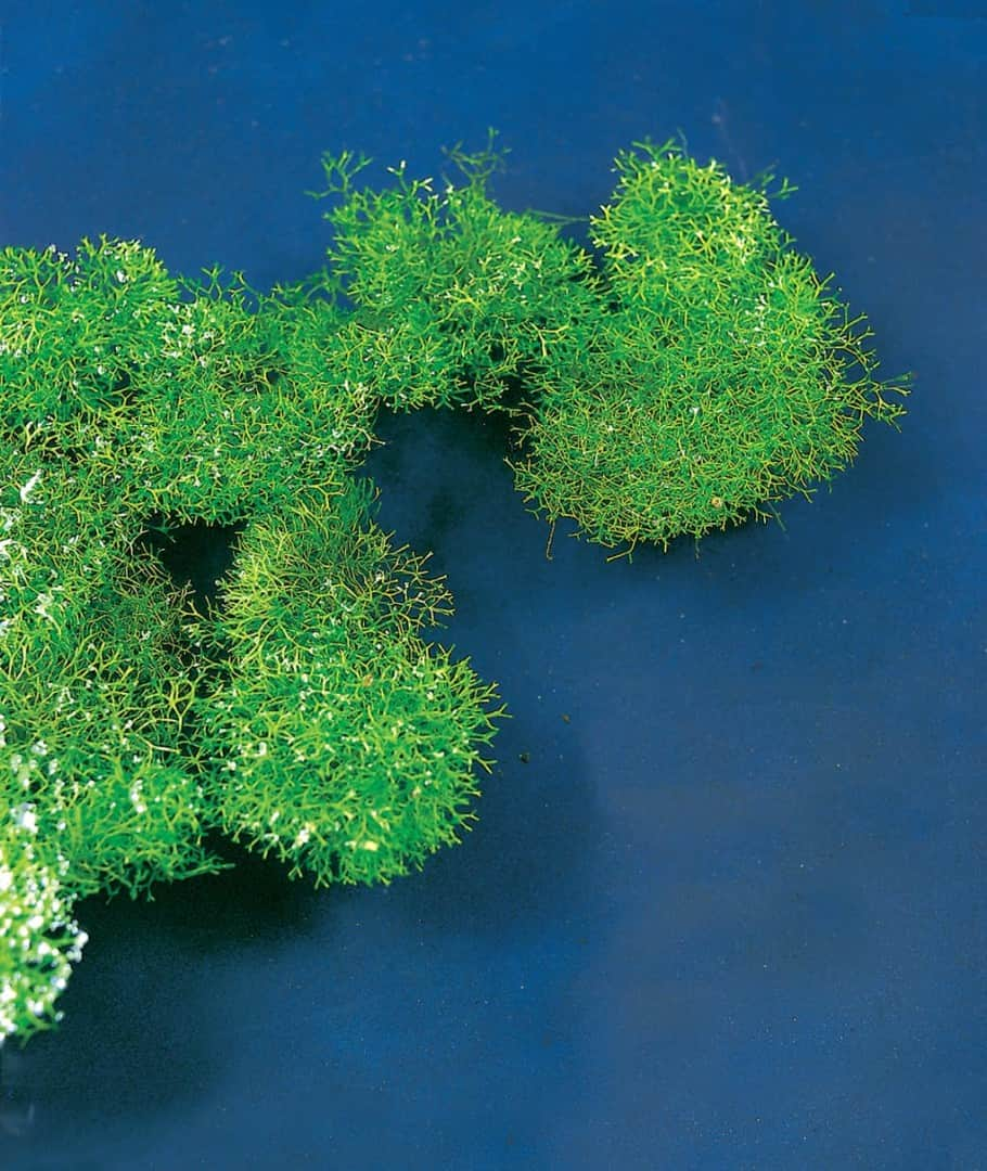 175 Riccia fluitans - Das schwimmende Teichlebermoos 10