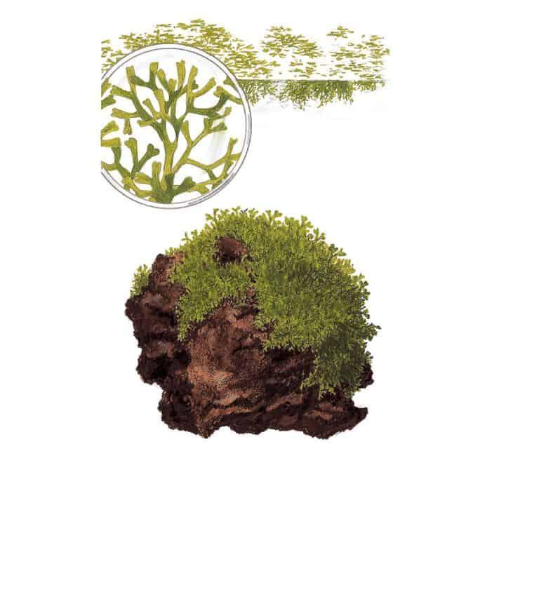 175 Riccia fluitans - Das schwimmende Teichlebermoos 12