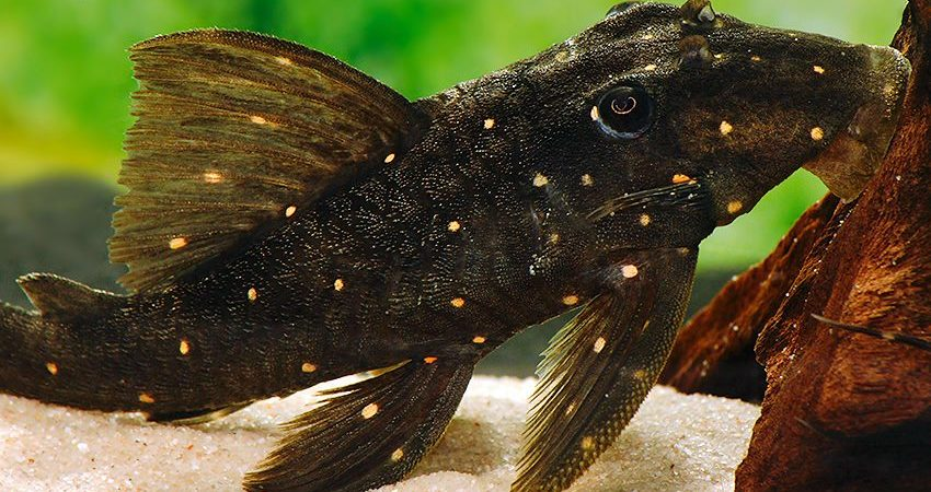 Panqolus albomaculatus LDA 31