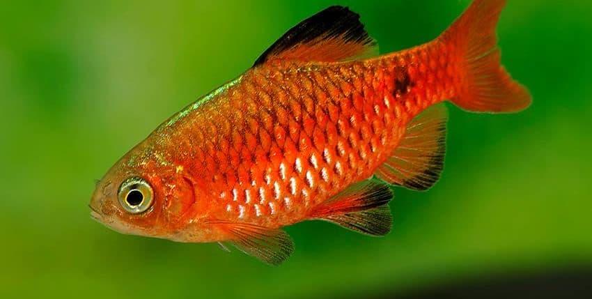 Pethia conchonius Neon Red