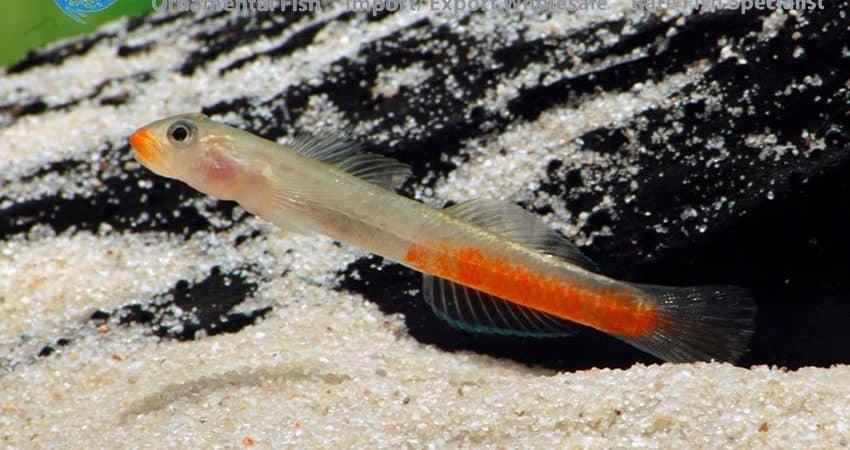 Sicyopus rubicundus