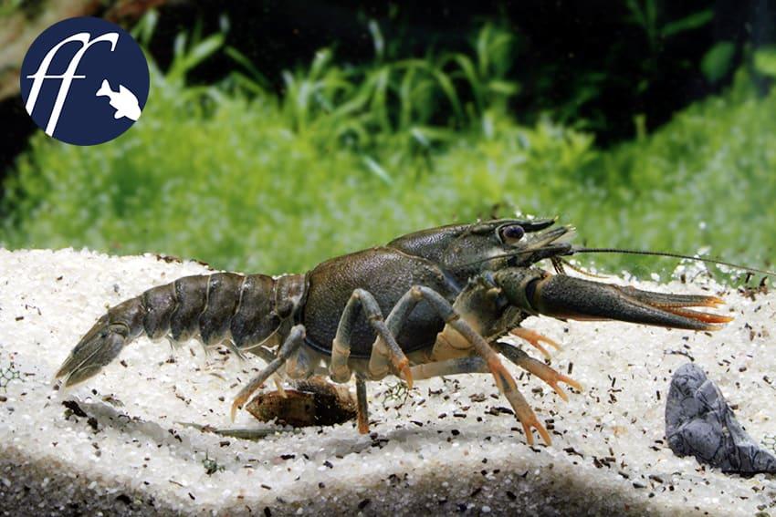 Franky Friday: Sind Aquarianer wirklich schuld am Aussterben der Europäischen Flusskrebse? 1