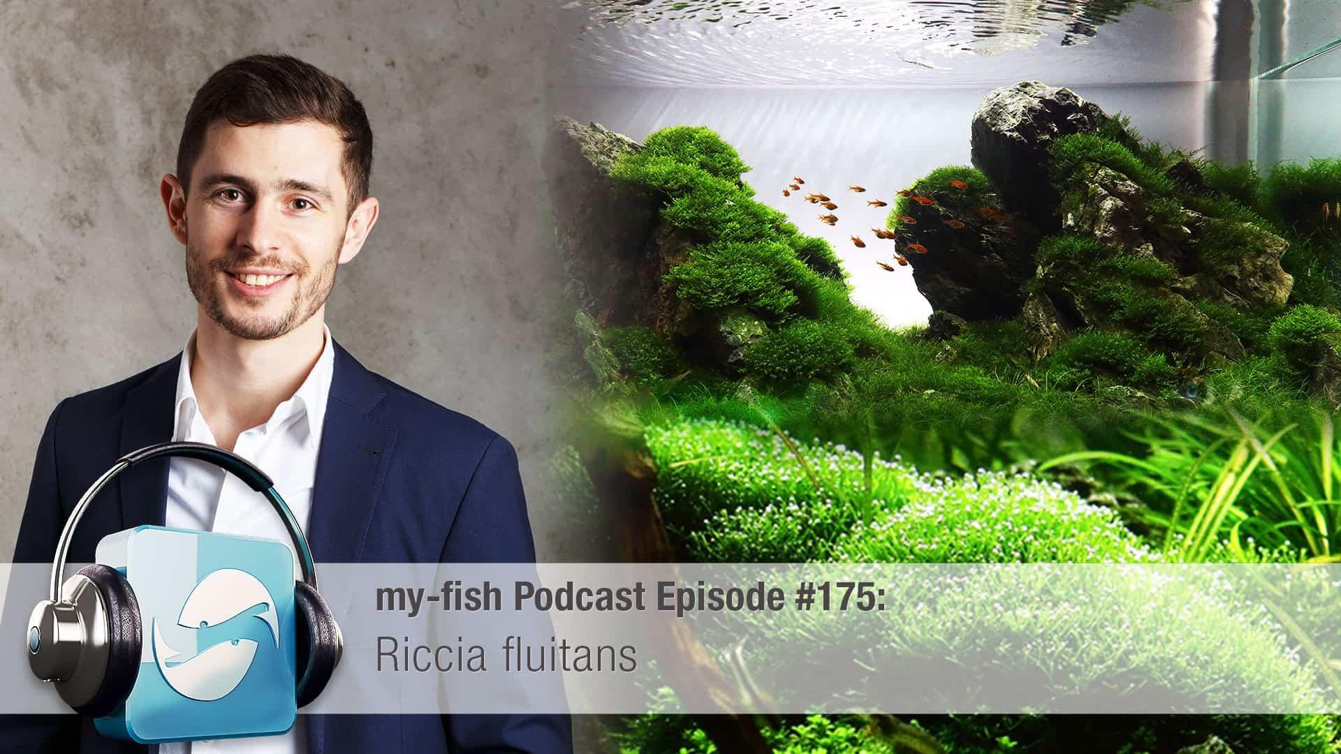 175 Riccia fluitans - Das schwimmende Teichlebermoos 1