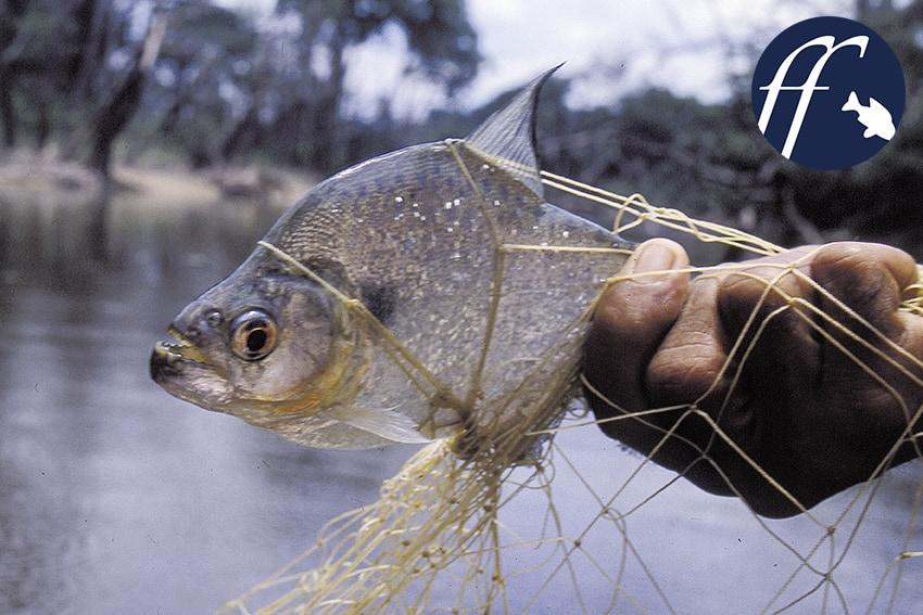 Franky Friday: Schauerliche Piranha-Mythen 1