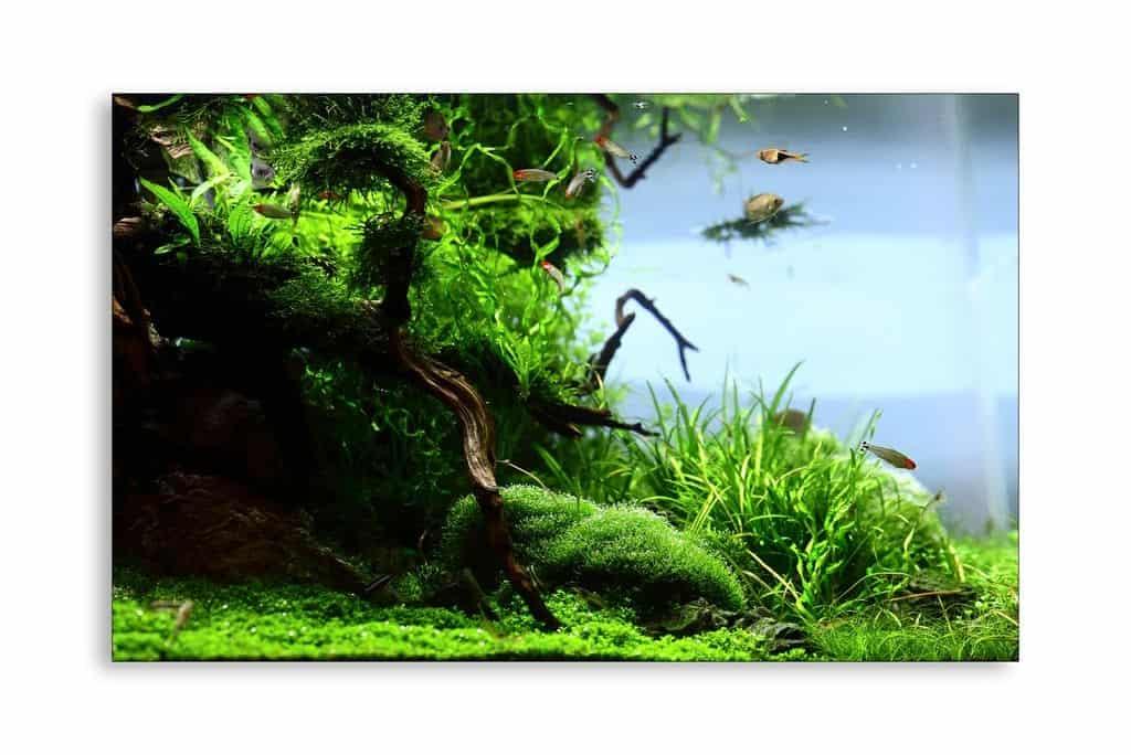 175 Riccia fluitans - Das schwimmende Teichlebermoos 15