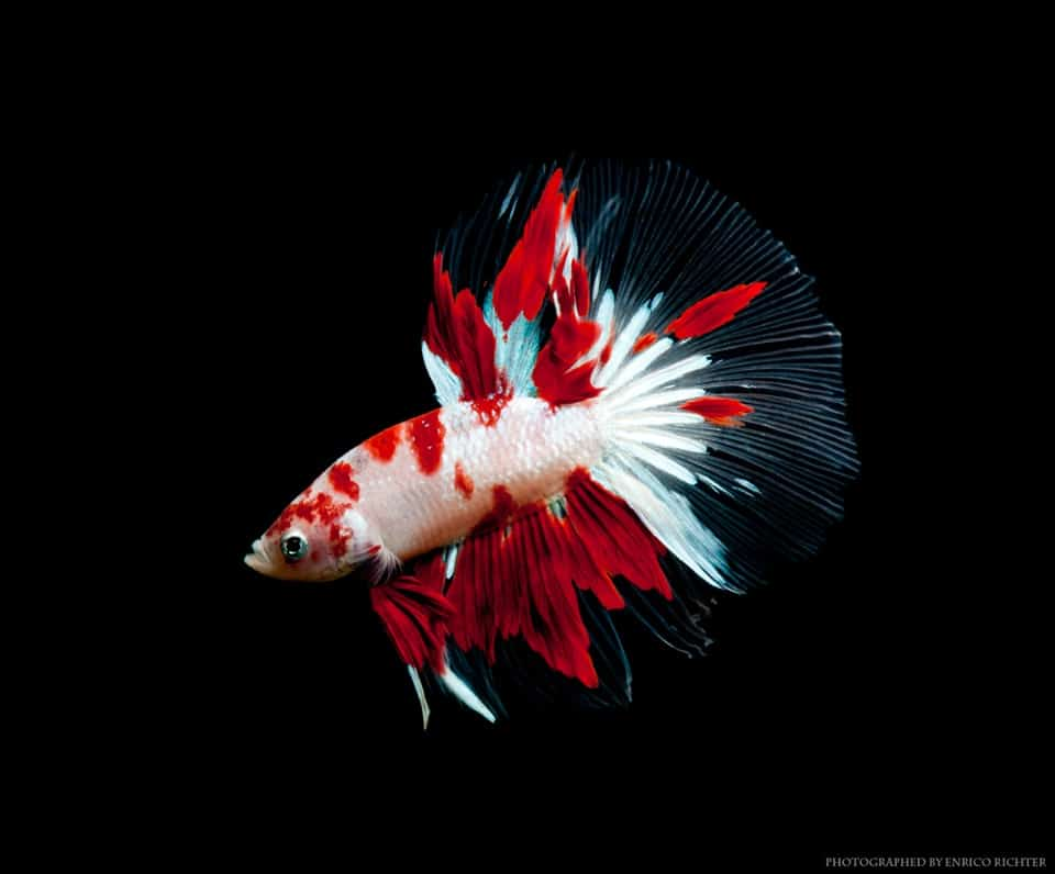 Betta splendens Koi Halfmoon Male