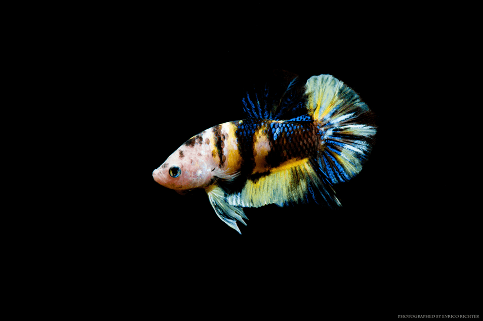 Betta splendens Koi Shorttail Male