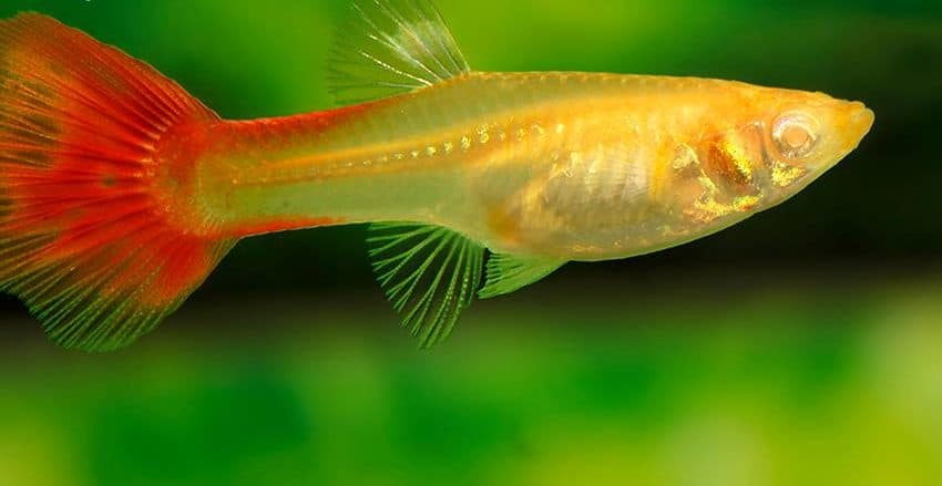 Guppy Full Red Albino