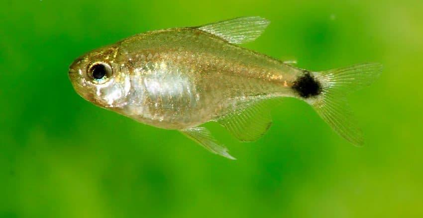 Hyphessobrycon elachys