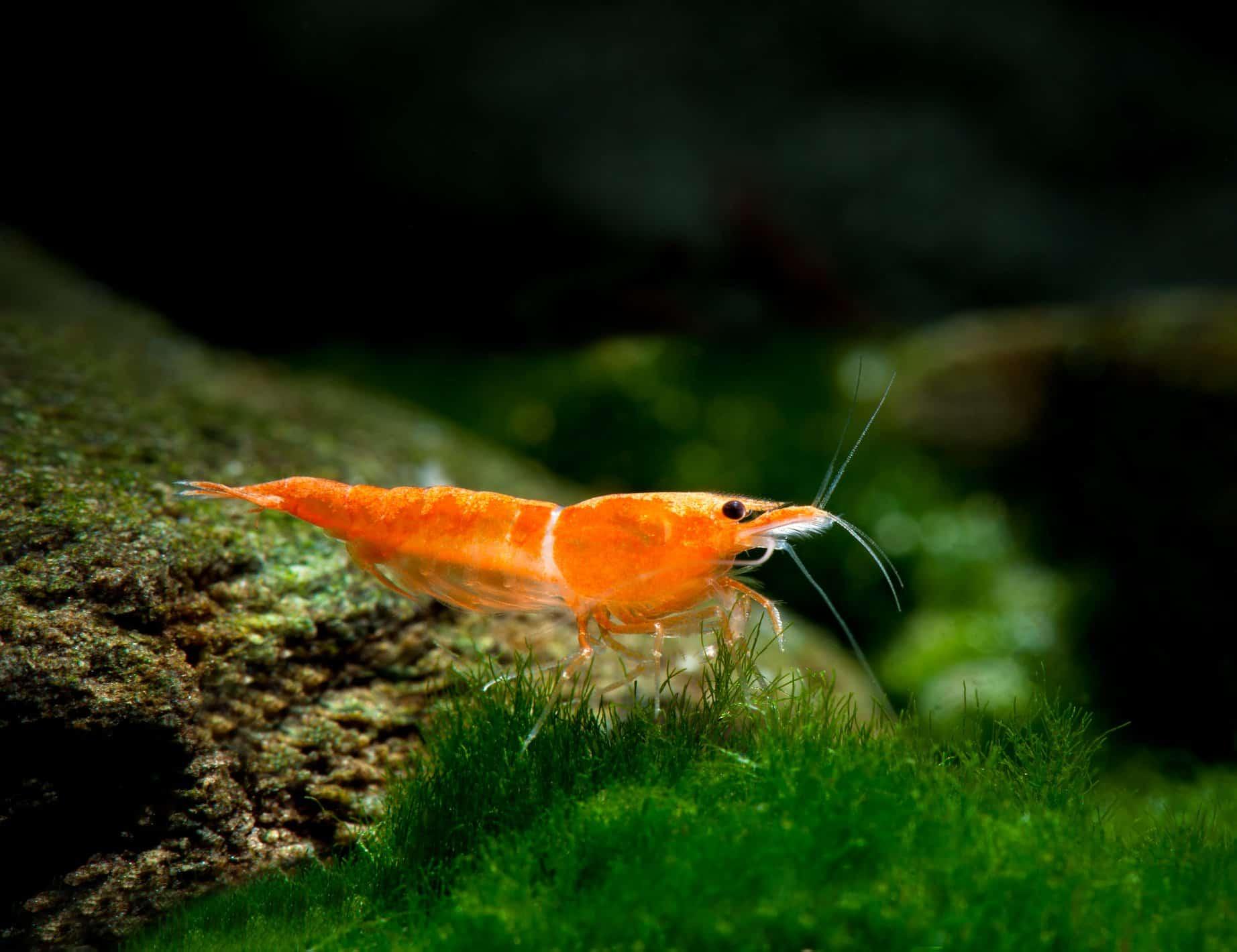 Neocaridina davidi Orange Rili