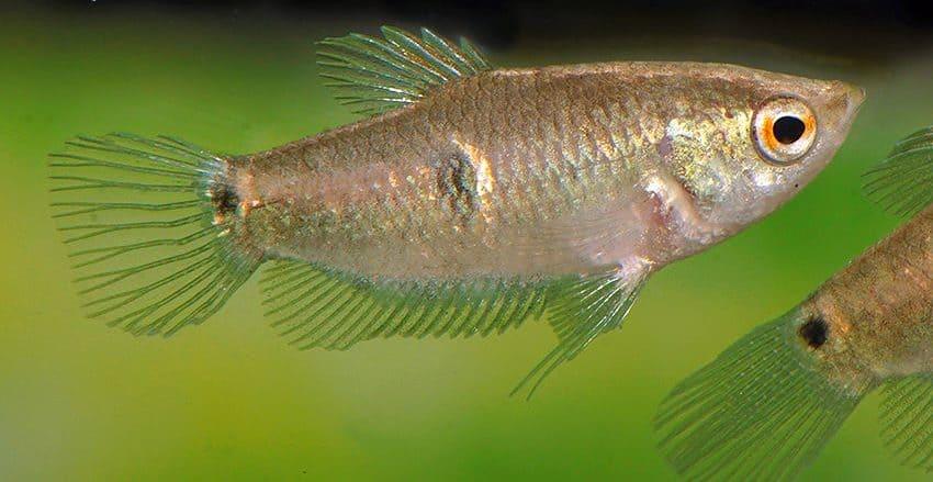 Parasphaerichthys ocellatus