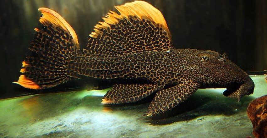 Pseudacanthicus leopardus LDA7