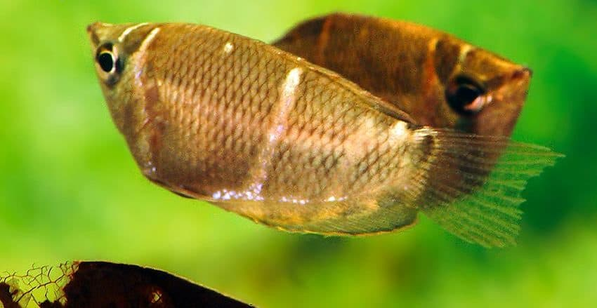 Sphaerichthys osphromenoides