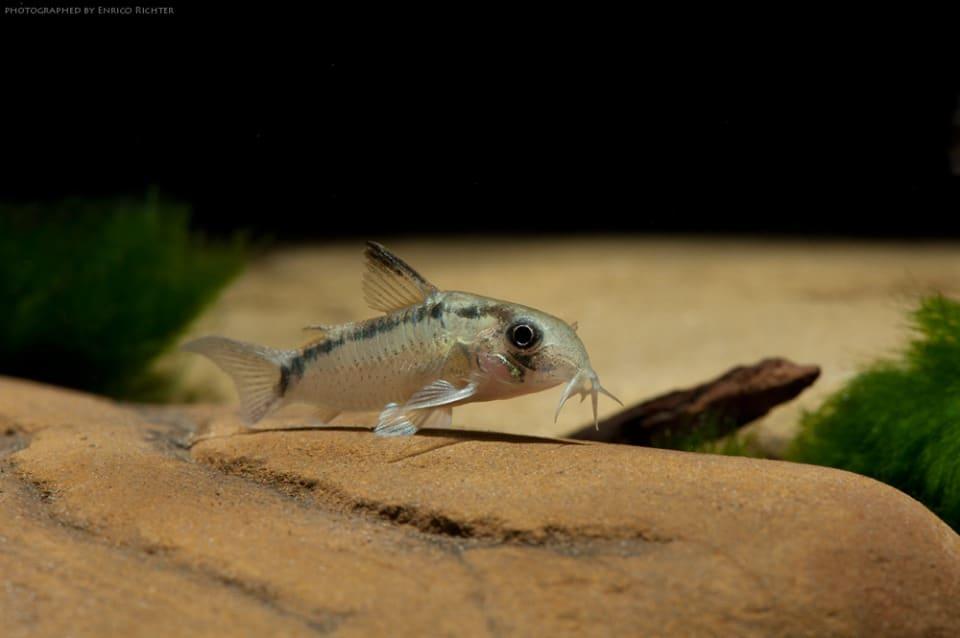 Corydoras cf. urucu Jutai 2,5-3cm
