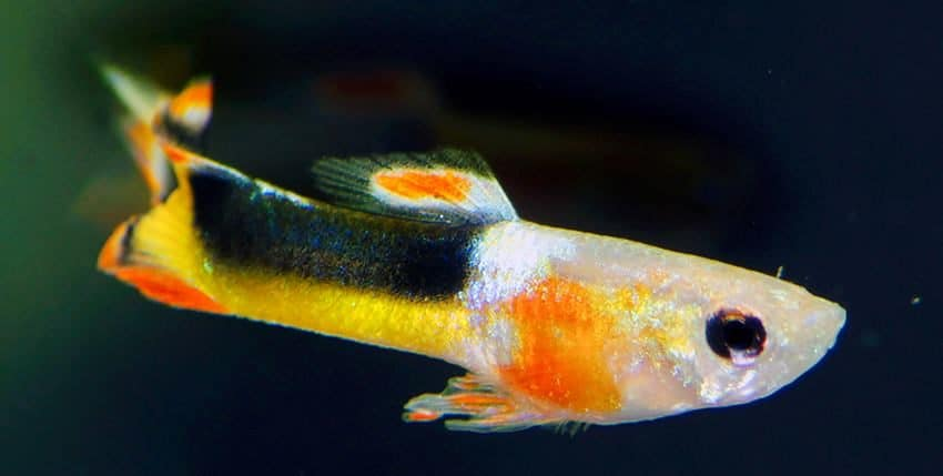 Guppy Endler Red Chest Saddleback