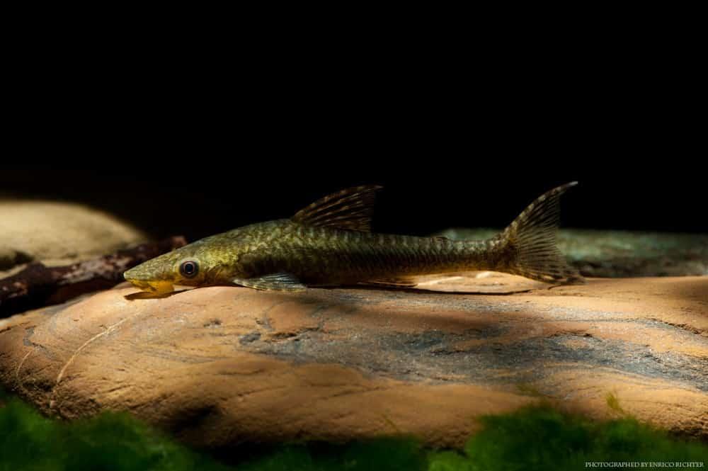 Hypoptopoma sp. Peru WF Peru 6,5-8cm