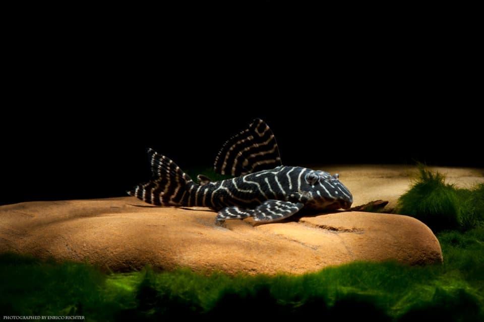 L401 Hypancistrus sp. Alenquer WF Brasilien 6-7cm