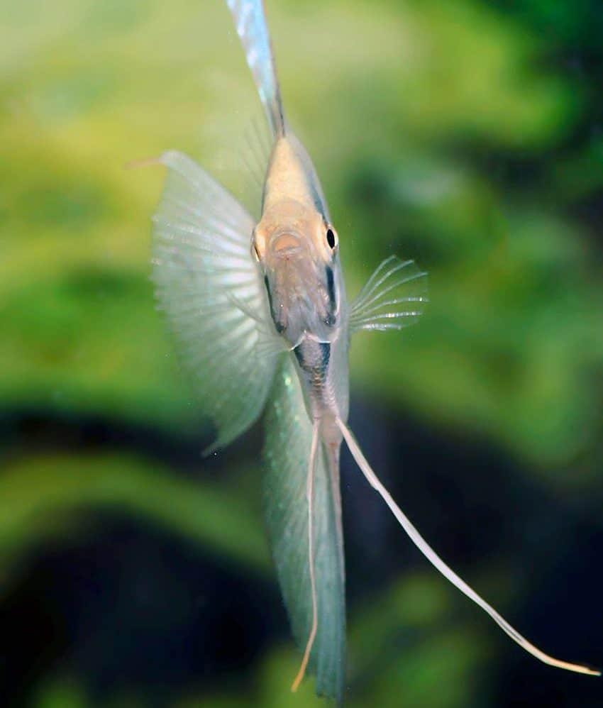 Pterophyllum scalare Belem Sky Blue